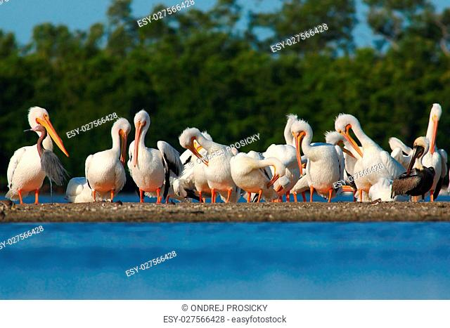 Group of pelican in stone island in the sea. White Pelican