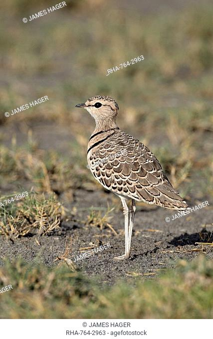 Two-banded courser double-banded courser Rhinoptilus africanus, Serengeti National Park, Tanzania, East Africa, Africa
