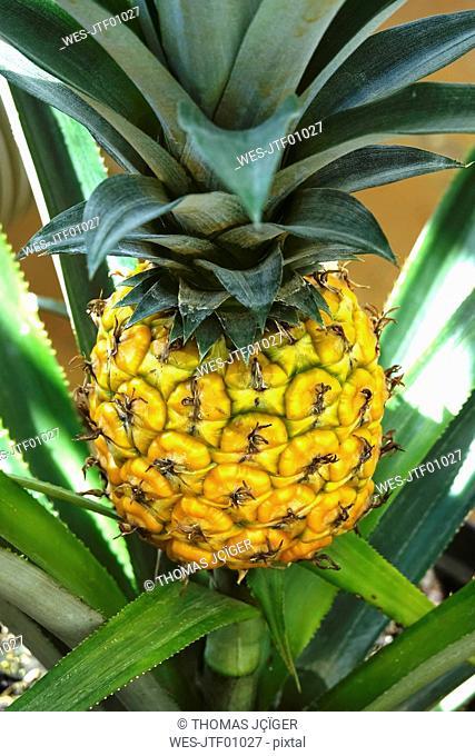 Pineapple growing on shrub