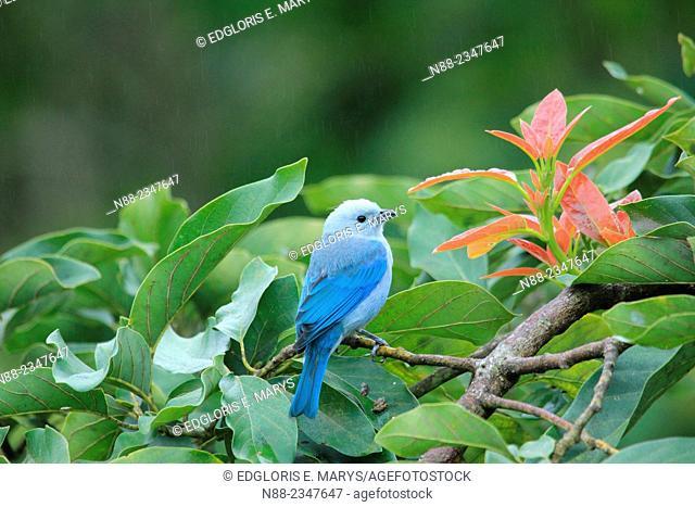 Blue-gray Tanager, Venezuela