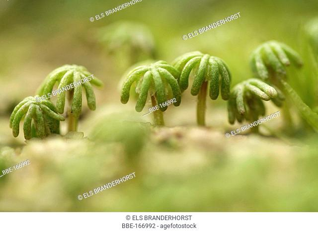 Common Liverwort