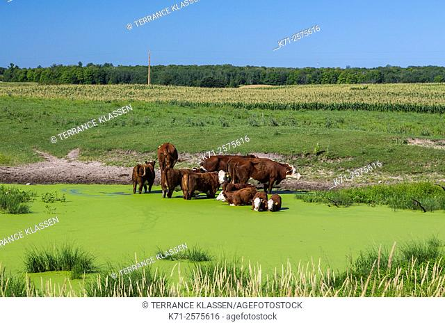 Cattle in a water pond near Park Rapids, Minnesota, USA