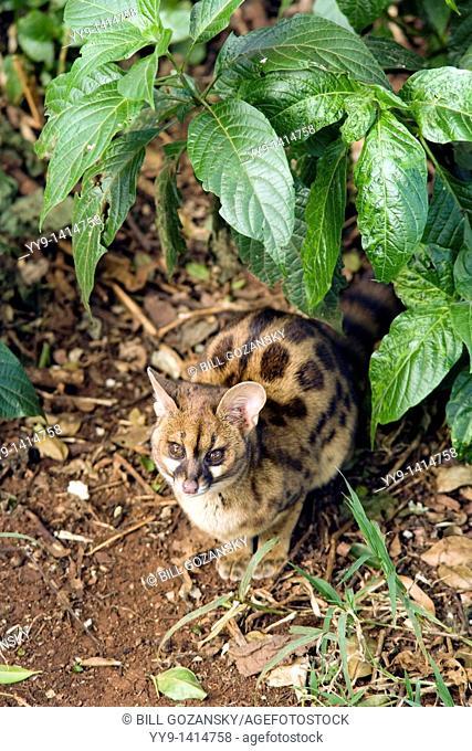 Genet Cat - Aberdare National Park, Kenya