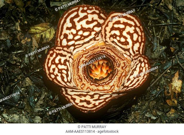 Rafflesia (Rafflesia pricei) parasite on vine in Trop. Rainforest, Borneo, Malaysia, Rafflesia Reserve