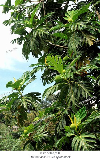Nutmeg-tree with fruits, Grenada