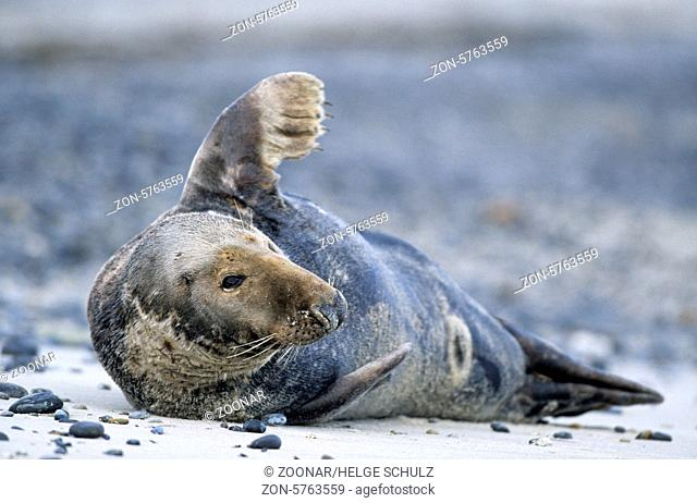 Kegelrobbenbulle ruht entspannt am Strand / Grey Seal bull resting relaxed on the beach - (Gray Seal - Horsehead Seal) / Halichoerus grypus