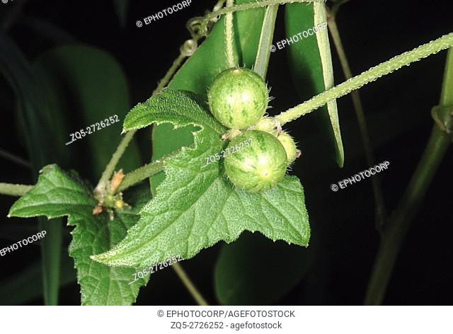 Close up of unripe fruit. Family: Cucurbitaceae. A herbaceous climber. The fruits are edible and when raw taste faintly like cucumber