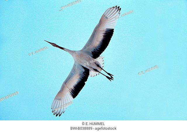 Manchurian crane (Grus japonensis), flying, Japan, Hokkaido