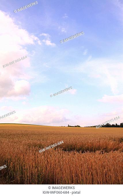 Ripe wheat in field