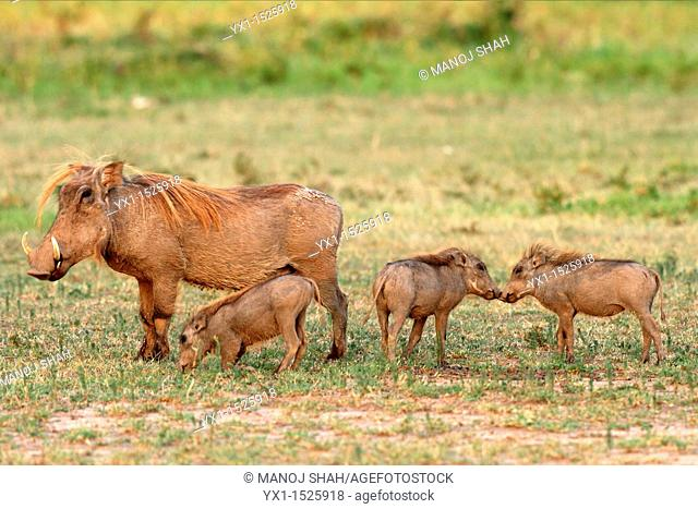 The warthog piglets always stay close to the mother