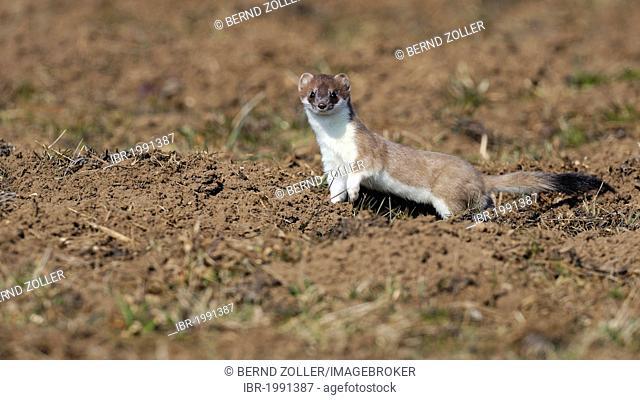 Stoat, ermine or short-tailed weasel (Mustela erminea), in summer coat, Biosphaerenreservat Schwaebische Alb biosphere reserve, UNESCO World Heritage Site