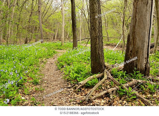 Path through Virginia Bluebells. Starved Rock State Park, Illinois