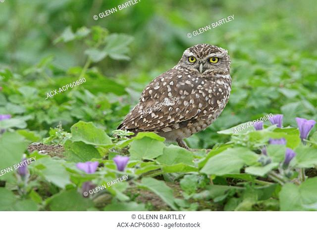 Burrowing Owl Athene cunicularia perched on the ground in Peru