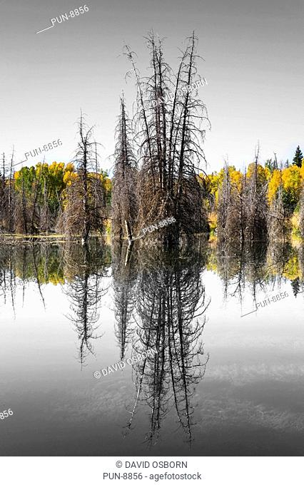 The reflection of a dead tree in the still waters of Schwabacher's landing in the Grand Teton National Park