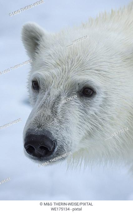 Polar Bear, Close-up, Svalbard Archipelago, Norway