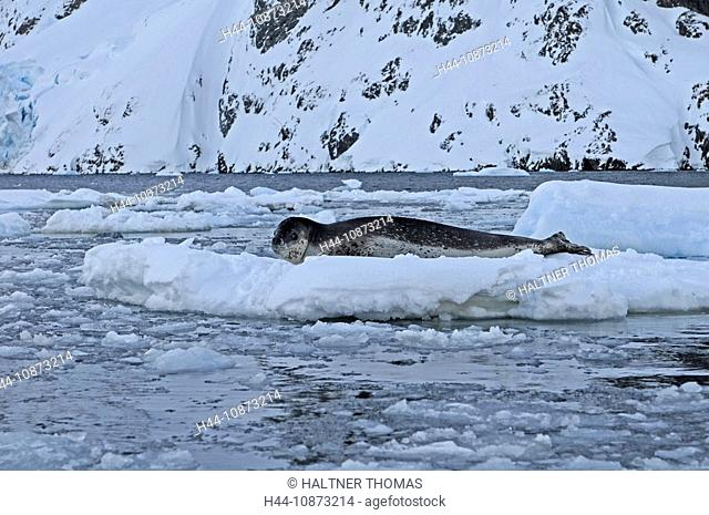 Antarctica,Antarctic,Antarctica,Lemaire channel,Lemaire,canal,channel,ice,drift ice,glacier,seal