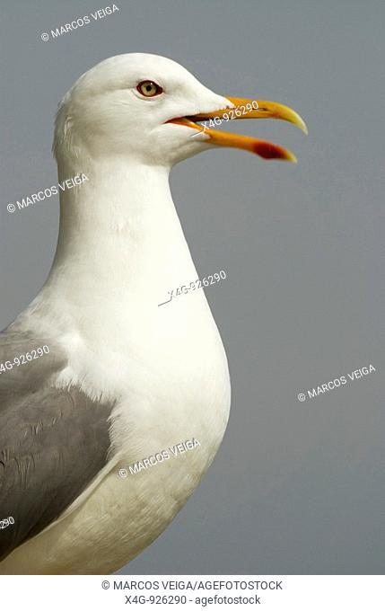 Gaviota patiamarilla  Yellow-legged gull  Larus michahellis