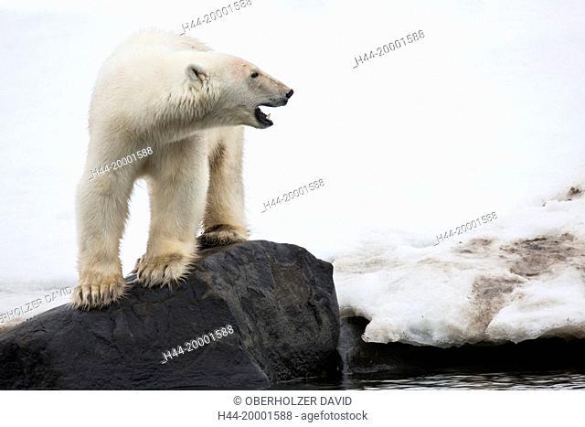 polar bear, Spitsbergen, Svalbard
