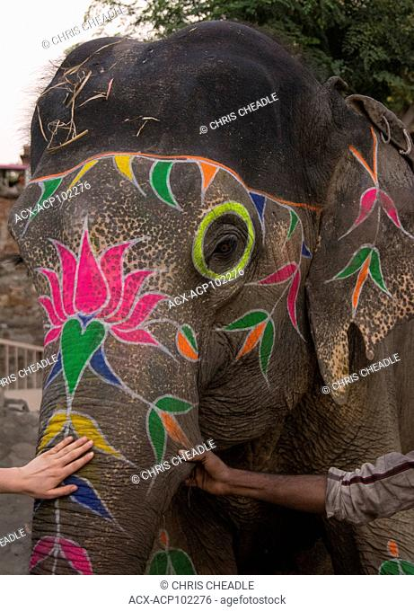 Elephants back home after a days work In the Pink City, Jaipur, Rajastan, India
