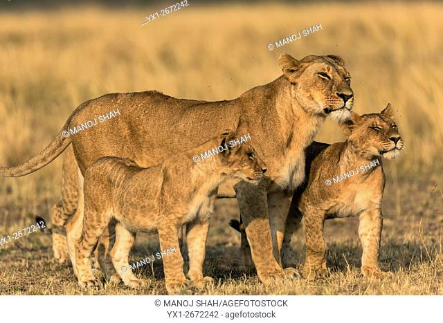 Lioness with her two cubs. Masai Mara National Reserve, Kenya