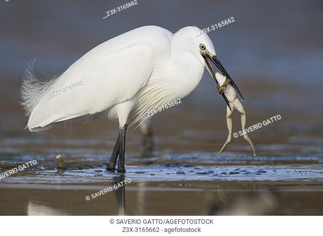 Little Egret (Egretta garzetta), adult with a caught frog