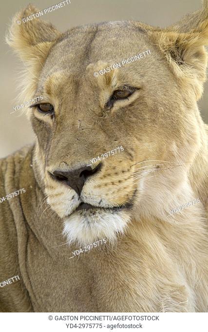 African Lion (Panthera leo) - Female, Kgalagadi Transfrontier Park, Kalahari desert, South Africa