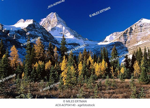 Mount Assiniboine and stand of larch trees in autumn, Mount Assiniboine Provincial Park, British Columbia, Canada