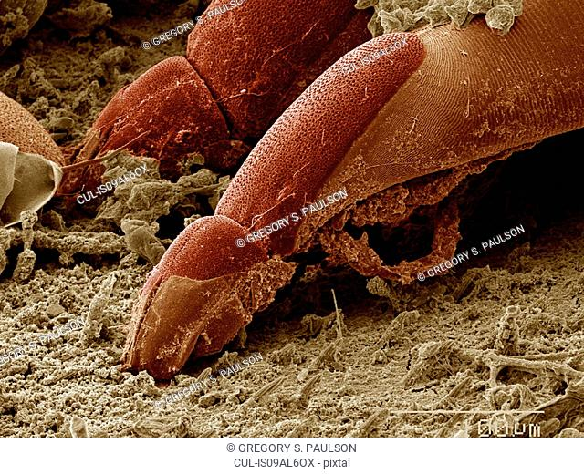 Mite on surface of Aquatic bug SEM