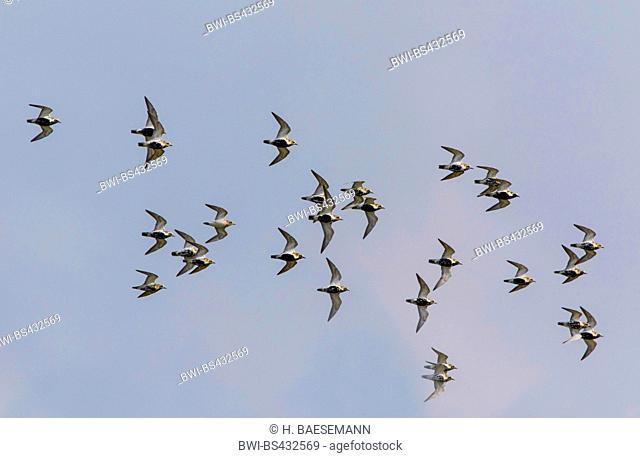 European golden plover (Pluvialis apricaria), flock in flight, Germany, Schleswig-Holstein, Northern Frisia, Hallig Hooge