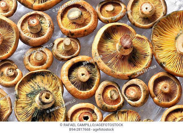 Mushrooms. Saffron milk-caps. Lactarius deliciosus. Rovellons. Sant Josep aka la Boqueria, Barcelona, Spain
