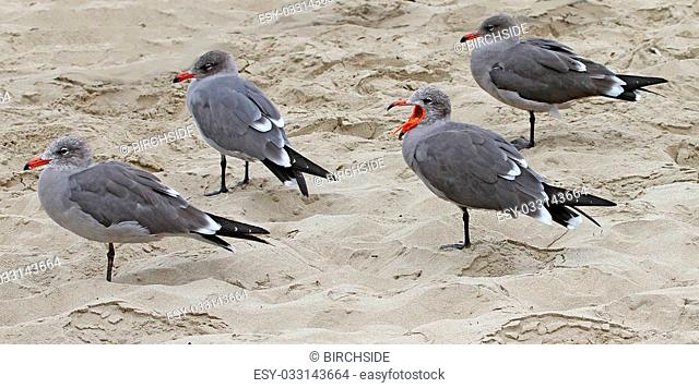 Heermann's Gulls (Larus heermanni) adults in winter at Pismo Beach, CA