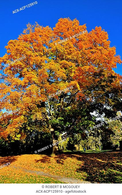 A vertical image of a large maple tree with its leaves turning the yellows and orange colors of fall against a dark blue sky in Sussex, New Brunswick, Canada