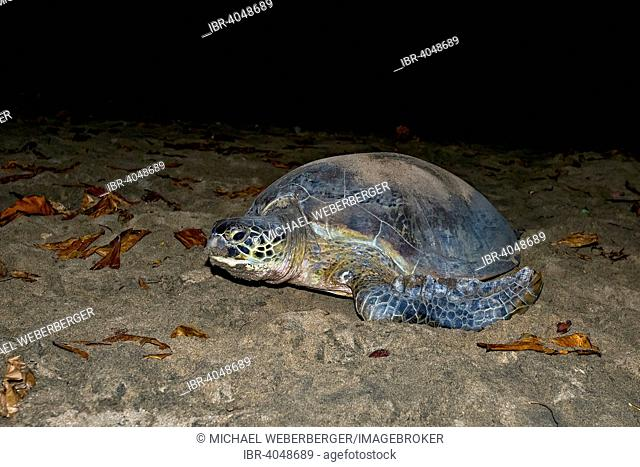 Green Turtle or Green Sea Turtle (Chelonia mydas) laying eggs, Indian Ocean, Mayotte