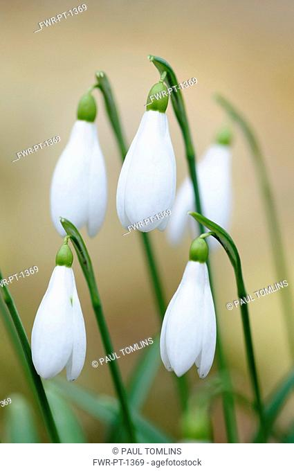 Snowdrop, Galanthus nivalis, Close view of several closed flowers hanging together against a pale brown background