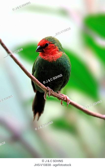 Red-Throated Parrotfinch, (Erythrura psittacea), adult on branch, New Caledonia