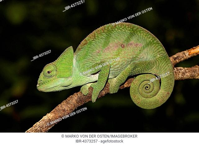 Parson's Chameleon (Calumma parsonii cristifer) young, Analamazoatra, Andasibe-Mantadia National Park, eastern Madagascar, Madagascar