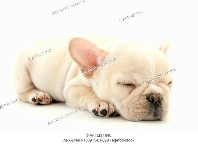 A sleeping puppy