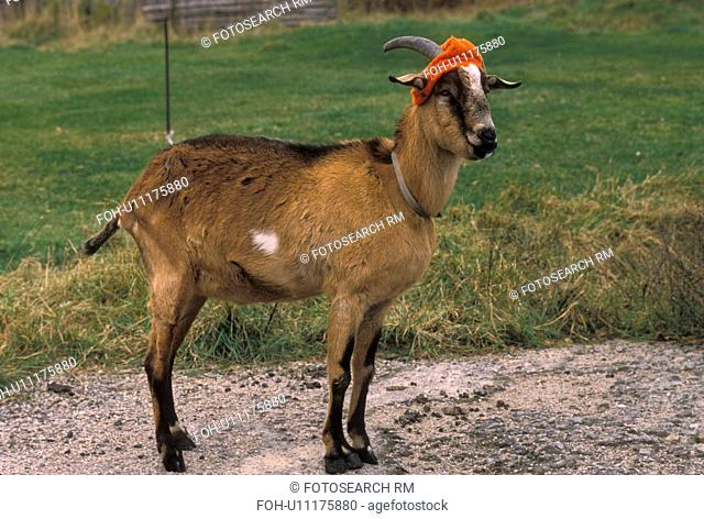 goat, hunting, A goat wears a colorful orange hat during hunting season in the fall