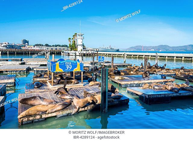 California Sea Lions (Zalophus californianus) at Pier 39, Fisherman's Warf, San Francisco, California, USA