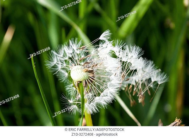 dandelion flower scattering seedlings