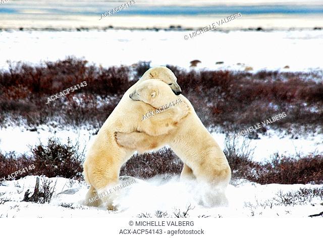 Two Male Polar Bears, Ursus Maritimus, Sparring, Churchill, Manitoba, Canada