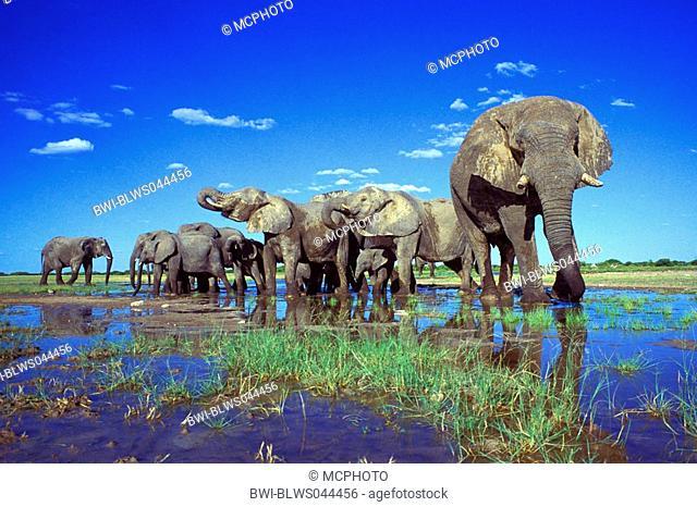 African elephant Loxodonta africana, herd in pond, largest terrestrial animal, Namibia, Etosha NP