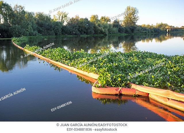 Floating barrier for control of invasive plant water hyacinth. Highly problematic invasive species at Guadiana River, Badajoz, Spain