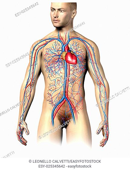 Man human cyrculatory system, upper part. Superimposed to realistic body. On white background, clipping path included