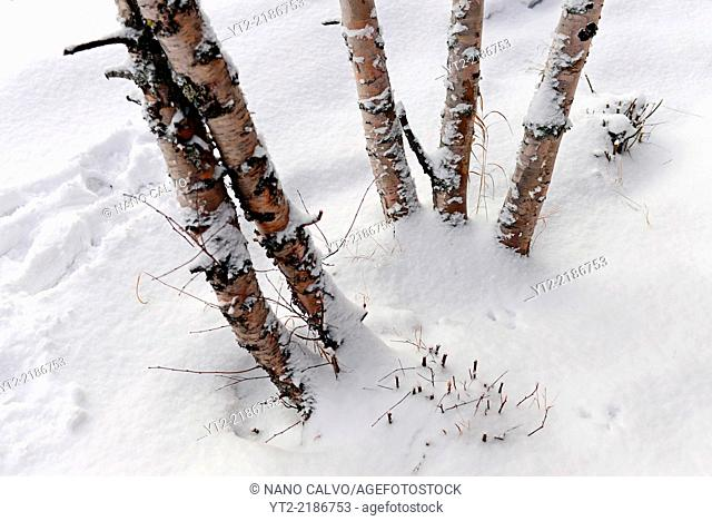 Trees covered by snow in winter, Inari, Lapland