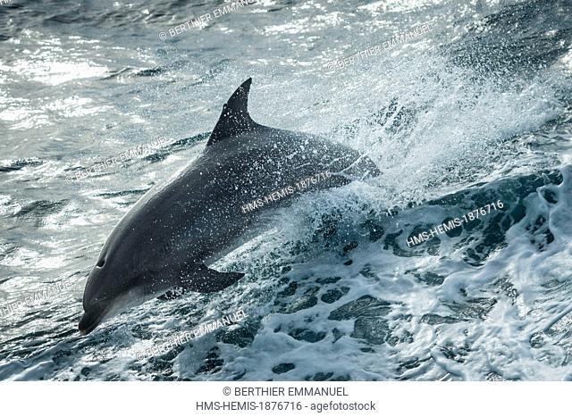 France, Finistere, Ile de Sein, common bottlenose dolphin (Tursiops truncatus)