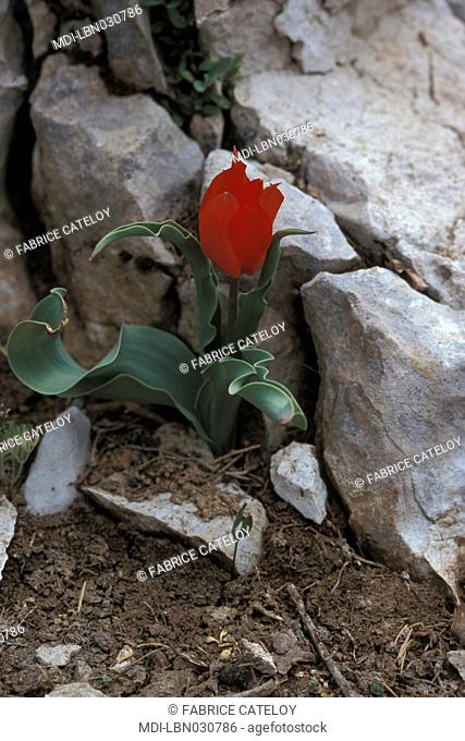 Flower in the Barouk reserve in the Chouf