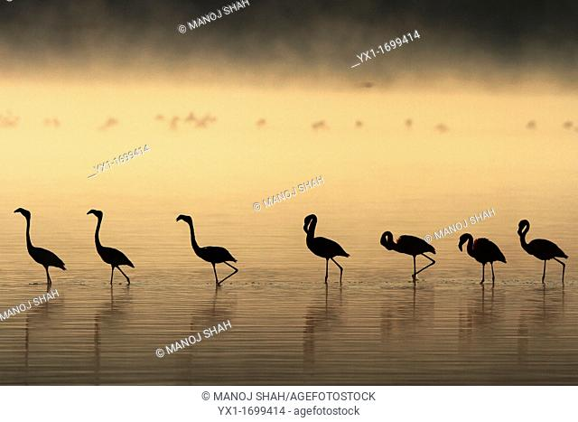 Silouhette of Lesser flamingos walking in the shallow larts of Lake Nakuru