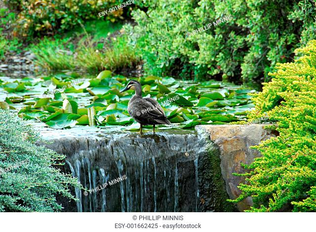 Duck Beside a Pond