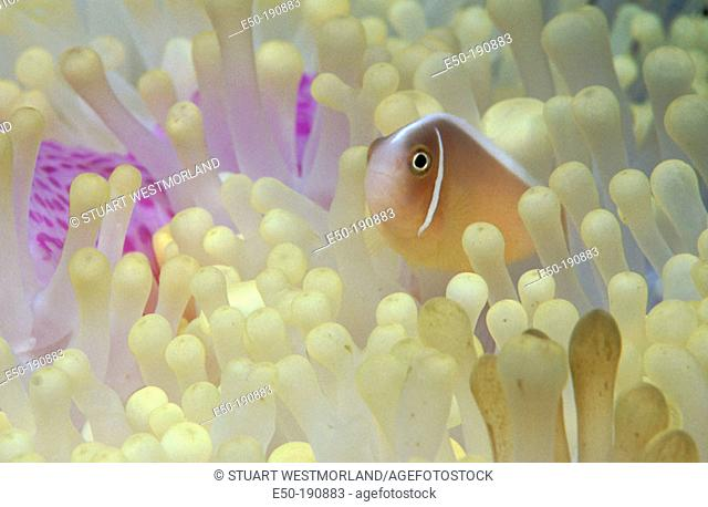 Pink Anemonefish (Amphiprion perideraion). Indonesia
